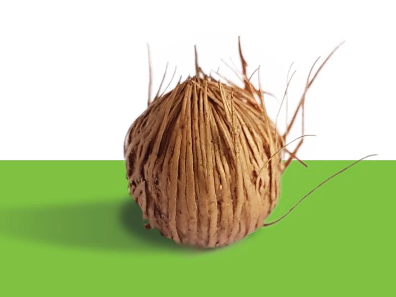Palmito-juçara, semente